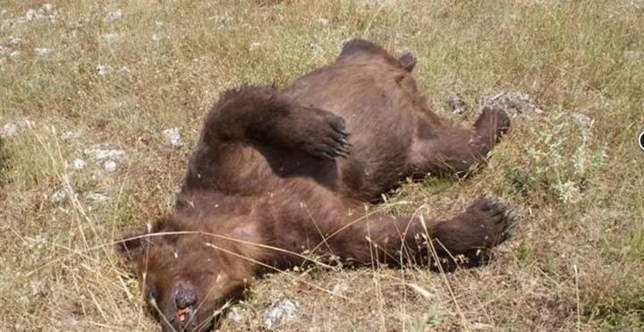 Δύο αρκούδες νεκρές από σφαίρα στην Πρέσπα