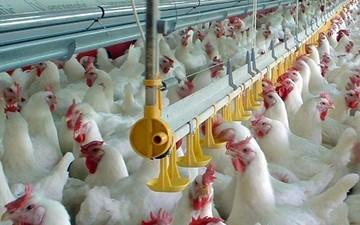 Γιατί παγώνουν τα πρόστιμα για το καρτέλ στα κοτόπουλα