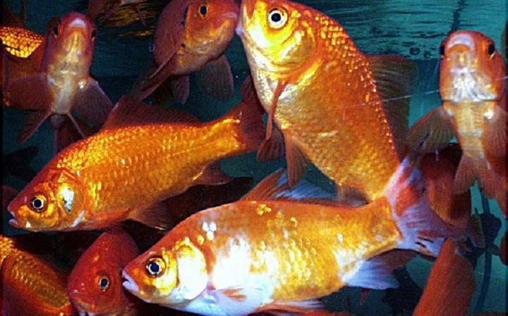 Έριξαν λίγα χρυσόψαρα σε λίμνη, πολλαπλασιάστηκαν και τώρα απειλούν το οικοσύστημα