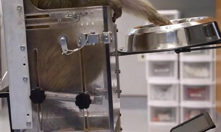 Μαϊμού κουνάει ρομποτικό αναπηρικό καροτσάκι μόνο με τη ...σκέψη!