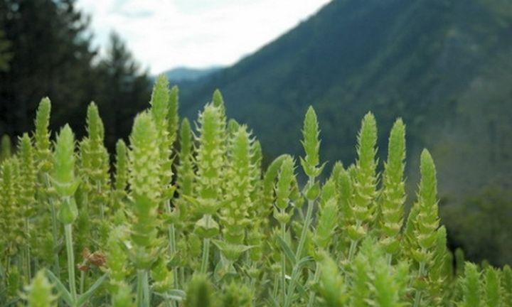 Ηλεκτρονική βάση με τα φαρμακευτικά βότανα της Ηπείρου
