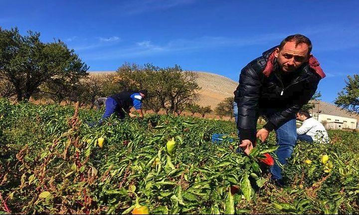 Τρόπoς ζωής η πιπεριά Φλωρίνης: Ανοίγει πόρτες στα delicatessen του κόσμου