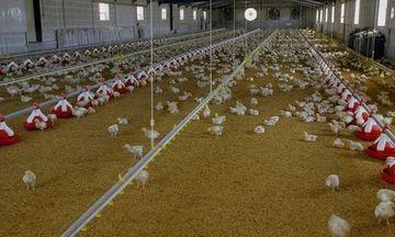 Τα κοτόπουλα ΠΙΝΔΟΣ «ταξιδεύουν» σε Τουρκία και Κίνα
