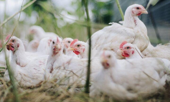 H Chipita στηρίζει τις βέλτιστες πρακτικές πτηνοτροφίας