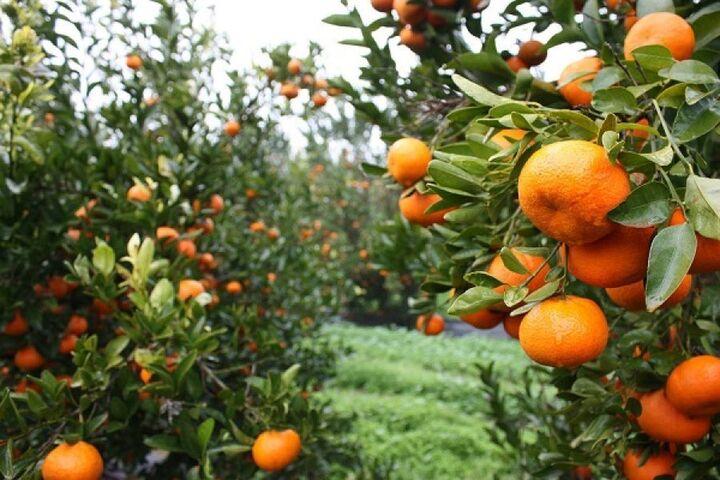 INCOFRUIT-HELLAS:Ιστορικό ρεκόρ εξαγωγών σε αγγούρια και μανταρίνια