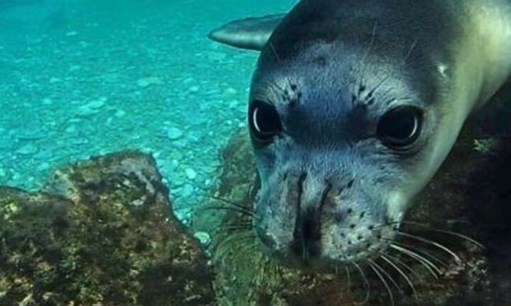 Αλόννησος: Φώκια δάγκωσε τουρίστρια που ήθελε να τη χαϊδεψει