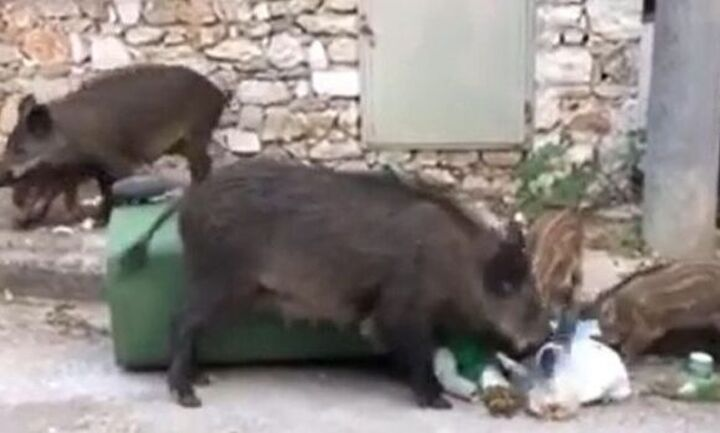 Προσοχή: Αγριογούρουνα εισβάλουν στα βόρεια προάστια - Απειλήθηκε μητέρα με μωρό (video)