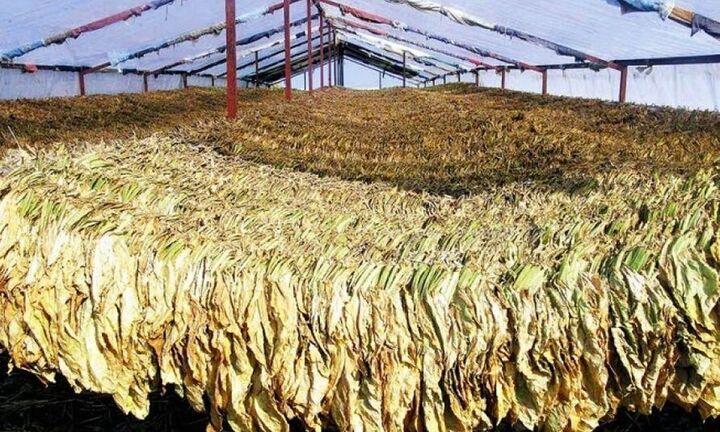 ΟΠΕΚΕΠΕ: Ξεκίνησαν οι πληρωμές για ελιές και καπνά Βιρτζίνια