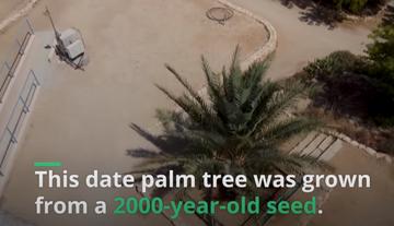 Χουρμάδες 2.000 ετών