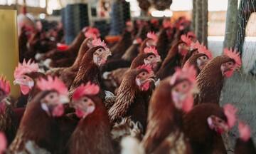 Πτηνοτρόφοι: Δεν μπορούμε να απορροφήσουμε το αυξημένο κόστος της ενέργειας